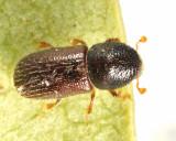 Xyleborus seriatus