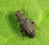 Water Scavenger Beetle - Hydrophilidae - Hydrochus sp.