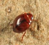 Predacious Diving Beetle - Dytiscidae - Hygrotus sayi