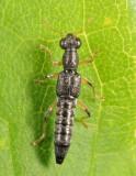 Water Skater - Staphylinidae - Stenus sp.