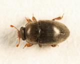 Black Pollen Beetle - Nitidulidae - Fabogethes nigrescens