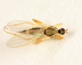 Hybotid Dance Fly - Hybotidae - Platypalpus sp.
