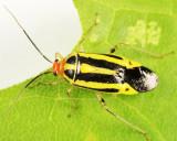 Four-lined Plant Bug - Miridae - Poecilocapsus lineatus
