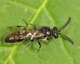 Tiphiid Wasp - Tiphiidae - Tiphia sp.