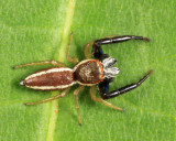 Jumping Spider - Salticidae - Hentzia palmarum