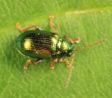 Flea Beetle - Chrysomelidae - Crepidodera sp.