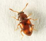 Pleasing Fungus Beetle - Erotylidae - Toramus pulchellus