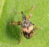 Flower Bud Weevil - Brentidae - Nanophyes marmoratus