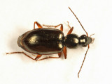Ground Beetle - Carabidae - Agonum aeruginosum