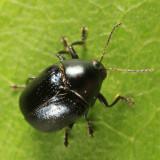 Case-bearing Leaf Beetle - Chrysomelidae - Lexiphanes saponatus