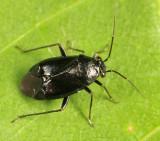 Plant Bug - Miridae - Slaterocoris atritibialis