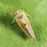 Leafhopper - Cicadellidae - Agalliopsis sp.