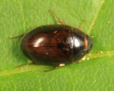 Water Scavenger Beetle - Hydrophilidae