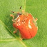 Tortoise Beetle - Chrysomelidae - Charidotella sp.