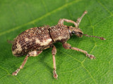 Lily of the Valley Weevil - Hormorus undulatus