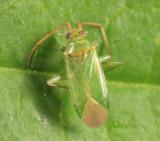 Blepharidopterus chlorionis