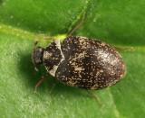 Museum Beetle - Anthrenus museorum