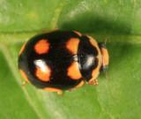 Orange-spotted Lady Beetle - Brachiacantha ursina (male)