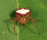 Araneus miniatus