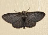 6590 -  melanistic Common Gray - Anavitrinella pampinaria
