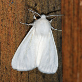 8140 – Fall Webworm Moth – Hyphantria cunea