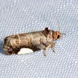 2863 - White-spotted Hedya - Hedya chionosema