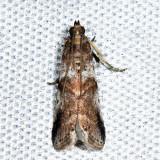 5651 – Leaf Crumpler Moth – Acrobasis indigenella