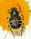 Trichiotinus assimilis