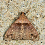 8393 – Ambiguous Moth – Lascoria ambigualis