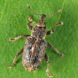 Listronotus maculicollis