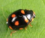 Ursine Spurleg Lady Beetle - Brachiacantha ursina