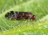 Stout Barklice - Peripsocidae