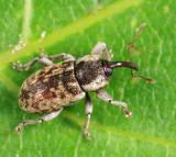 Pachytychius haematocephalus