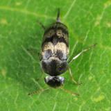 Mordellaria undulata