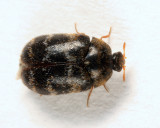 Glabrous Cabinet Beetle - Trogoderma glabrum