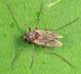Procladius sp. (subgenus Holotanypus)