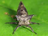 Microcentrus perditus (female)