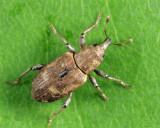 Weevils - Subfamily Bagoinae