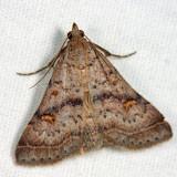 8370 – Bent-winged Owlet Moth – Bleptina caradrinalis