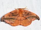 6255 - Rose Hooktip Moth - Oreta rosea