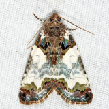 9062 - Tufted Bird Dropping Moth - Cerma cerintha
