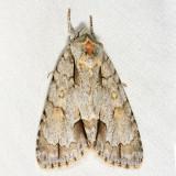 9236 – Ochre Dagger Moth – Acronicta morula