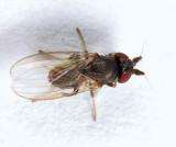 Phyllomyza milnei