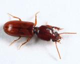 Slender Seedcorn Beetle - Clivina impressefrons