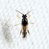 Clinohelea bimaculata (male)