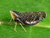 Yellowfaced Leafhopper - Scaphytopius frontalis