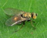 Diaphorinae