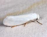 0200.1 – Bogus Yucca Moth – Prodoxus decipiens