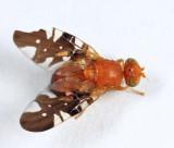 Paramyiolia nigricornis