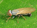 Flies - Chamaemyiidae